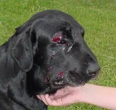 benson animal hospital rattlesnake avoidance for dogs cerberus k9