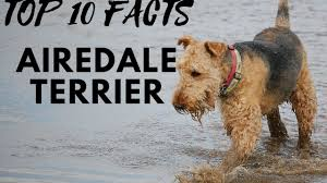 Do Airedale Puppies Shed by Airedale Terrier Top 10 Interesting Facts Youtube