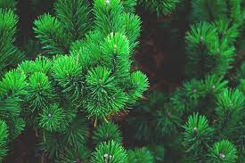Balsam Christmas Tree Care by Christmas Tree Care And Tips