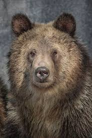 Drawn Grizzly Bear California State 15