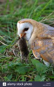 Barn Owl Tyto Alba With A Short-tailed Vole In It's Bill After ... Flying Eurasian Eagle Owl Colorfull Winter Stock Photo 304031924 Barn Facts Pictures Diet Breeding Habitat Behaviour Best 25 Owl Sounds Ideas On Pinterest Owls Beautiful Wowzers Blog Centre Gloucester Wikipedia 10 Fascating About Bckling Estate A Barn Owls Home National Trust Birds Of Prey Shavers Creek Raptor Center Kohrphotos The Barn Owl Wallpapersbirds Unique Nature Hd Wallpapers