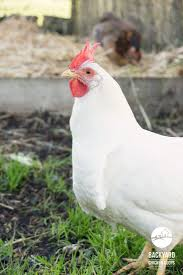 25+ Unique Leghorn Chickens Ideas On Pinterest | White Leghorn ... Gender Id Australorp Leghorn Cross Hi From Sydney Backyard My New Flock Chickens Barnevelder Byc Member Interview Bantamlover21 Lilyfield Life Why I Keep Backyard Evans Chiensbackyard For Sale Sydneyphotos Retegrating A Recovered Hen To Small Flock 100 Whole Pet Family Intertional Black Copper Marans Thread Breeding The Sop Watch Hilarious Announcers Reaction As Deer Jump Onto Retrack