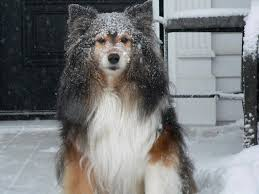 Sheltie Shedding In Winter by He May Not Like The Rain But He Sure Loves The Snow Aww