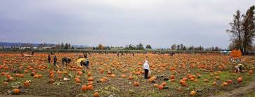 Auburn Pumpkin Patch by Puget Sound Farms With Pumpkin Patches Corn Mazes And U Pick Apples
