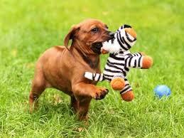 Do Rhodesian Ridgebacks Drool by 143 Best Rhodesian Ridgeback Images On Pinterest Beautiful Dogs