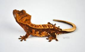 Crested Gecko Shedding Help by 2016 Pos Red Harlequin Partial Pinstripe Crested Gecko By Warren