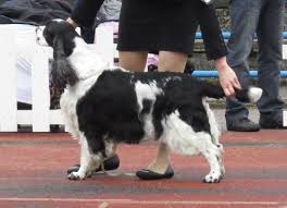 Do Brittany Spaniels Shed Hair by English Springer Spaniel Wikipedia