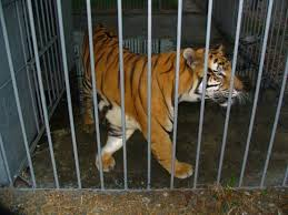The Legal Battle To Free Truck Stop Tony Continues. Here's How You ... 45 Tiger Truck Stop Trucker Jims Truckin Journey Youtube The Is Here To Stay Vice Kept At Iberville Parish Truck Stop Dies Tony The Update Owner Plans Pursue Another Tiger Stuff For Free Jobyronkuhnercom Kept At For 17 Years Dies But Legal Battle Isn September 28 2015 2 Louisiana Cdllife Abandoned Sign Along I2 Flickr