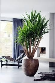 palmlilie eine bezaubernde zier und nutzpflanze pflanzen