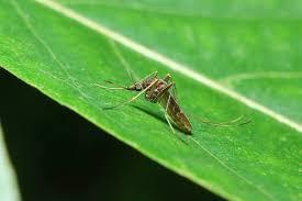 pflanzen gegen mücken natürliche mückenabwehr plantura