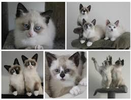 snowshoe cat snowshoe cats breeders australia snowshoe kittens for