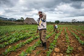 Farmers Take Care Of Their Tobacco Fields In Vinales Valley Cuba
