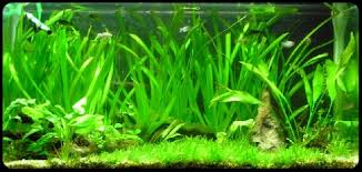 aquarium d eau douce aquarium site d aquariophilie pour poissons d eau de mer et