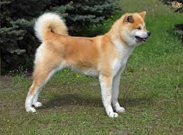 Do American Akitas Shed by Japanese Akita Inu Dog Breed Information Buying Advice Photos