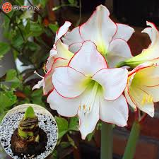 potted flowers white amaryllis bulbs hippeastrum bulbs they are