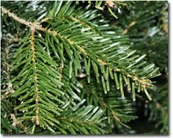Nordmann Fir Christmas Tree Seedlings by Wholesale Nordmann Fir Christmas Trees