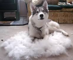4 answers do samoyed dogs shed a lot