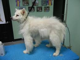 Do Samoyeds Shed All The Time by To Clip Or Not To Clip A Summertime Conversation Bbird U0027s Groomblog