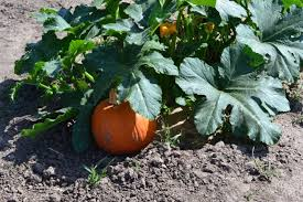 Big Orange Pumpkin Patch Celina Texas by Preston Trail Farms Big Orange Pumpkin Farm Review