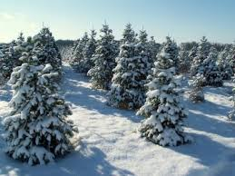 Elgin Il Christmas Tree Farm by 246 Best Christmas Tree Lot Images On Pinterest December Farms