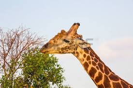 West African Giraffe Stock Photos Royalty Free
