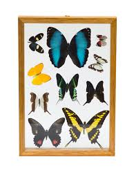 Front View Of The Framed Butterflies Decor They Are Real Dissected