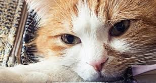 cat runny nose 14 symptoms of distemper in cats care community