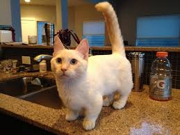 munchkins cats munchkin cats can serious health issues here s why the dodo