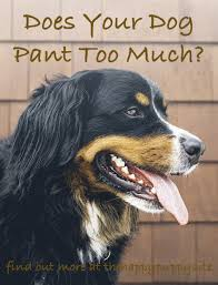 What Dogs Dont Shed Too Much by Why Do Dogs Pant A Complete Guide To Dog Panting