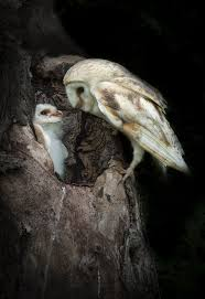 59 Best Barn Owls Images On Pinterest | Barn Owls, Birds And Beautiful 55 Best Owl Images On Pinterest Barn Owls Children And Hunting Owls How To Feed Keep An Owlet Maya A Brief Introduction The Common Types Of Six Reasons Why You Dont Want An Owl As Pet Bird Introducing Gizmo Baby Whitefaced Youtube 2270 Animals 637 Oh Meine Uhus I Love Owls My Barn Cat Baby By Disneyqueen1 Deviantart All Things Nighttime Predator Cute Animals