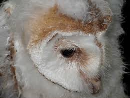 Young Owlets Thrive On Harewood Estate – Harewood House Chris Eastern Screech Owl Nest Box Cam For 2001 Three Cute Barn Owlets Getting Raised In Kodbakkam Chennai 077bojpg Needle Felted Owlet Baby Outdoor Alabama Escapes And Photography Owls Owlets At Charlecote Park Robin Loznak Barn Owls Oregon Overheated Chicks Rescued Hungry Project 132567 2568 2569 2570 The Wildlife Center Wallpaper Archives Trust Young Thrive On Harewood Estate House By Michael A Eccles