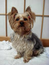Dog Breeds That Dont Shed by Top 10 Dog Breeds That Don U0027t Shed