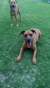 Black Mouth Cur Shed Hunting by Discussion Do You Force Your Dog To Come Inside If Weather Is