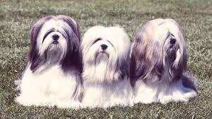 My Lhasa Apso Is Shedding Hair by Common Lhasa Apso Health Problems Petcarerx