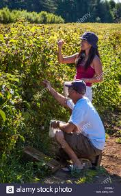 Couple Picking Fresh Raspberries In U-pick Field At Smith Berry ... Walk Through Of Berry Barn Haunted House Youtube Wedding New Orleans Photographers Vanessa Triangle Quilt Archives The Sassy Quilter Canada Saskatchewan Saskatoon North2alaska Ana White Doll Farmhouse Bed Diy Projects Restaurant Stock Photos Images Alamy 14 Farms In Missippi Where You Can Pick Your Own Food Amite Jen Enjoying A Day Tasting And Touring In Tualatin Valley Photographer Amanda Hodges Weir