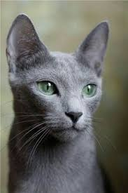 russian cat names 18 reason why cats talking to you so much meow russian blue
