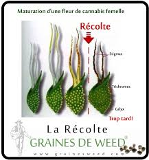 recolte cannabis exterieur date quand récolter les têtes de cannabis graines de
