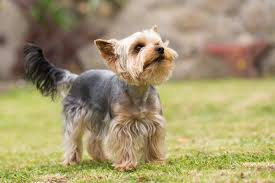 Dogs That Shed The Least Hair by Which Dog Breeds Shed The Least Dog Breeds