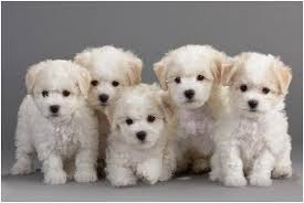 Hypoallergenic Non Shedding Small Dog Breeds by 15 Dogs That Don U0027t Shed Amazing Hypoallergenic Dog Breeds 2017