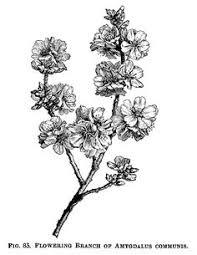 I1wp Olddesignshop Wp Content Uploads 2015 11 OldDesignShop FloweringAlmondBranchBW
