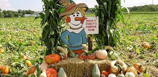 Pumpkin Picking Corn Maze Long Island Ny by New York Pumpkin Picking Photos Huffpost