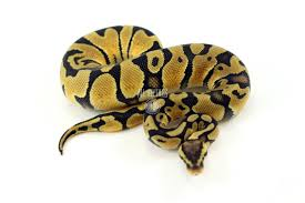 Ball Python Bedding by All Reptiles