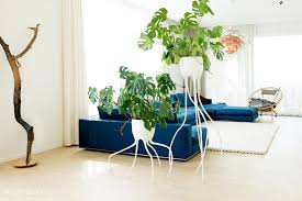 monstera magnifica monstera fugiens homify