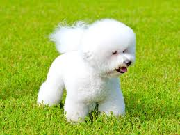 Hypoallergenic Dog Breeds That Dont Shed by Dogs That Don U0027t Shed 12 Best Hypoallergenic Dogs