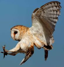 Black Hills Audubon Society | Burt's Birds (Sept 2017) – Barn Owl Lets Talk About Birds Barn Owl Pittsburgh Postgazette Couple Owls Stock Photo 30126931 Shutterstock Watch The Secret To Why Barn Owls Dont Lose Their Hearing New Zealand Online Let You Know Birdnote Owl John James Audubons Of America Information Found Suffer No Loss As They Age Facts Pictures Diet Breeding Habitat Behaviour Baby Youtube