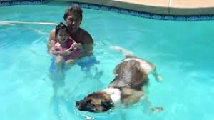 Do American Akitas Shed by My Akita Swimming Youtube