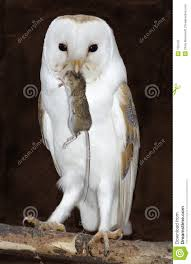 Barn Owl With Prey Stock Photo. Image Of Maidstone, Kent - 135100 White And Brown Barn Owl Free Image Peakpx Sd Falconry Barn Owl Box Tips Encouraging Owls To Nest Habitat Diet Reproduction Reptile Park Centre Stock Photos Images Alamy Bird Of Prey Tyto Alba Video Footage Videoblocks Barn Owl Tyto A Heart Shaped Face Buff Back Wings Bisham Group Bird Of Prey Clipart Pencil In Color British Struggle Adapt Modern Life Birdguides Beautiful Owls Pulborough Brooks The