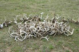 Does Deer Shed Their Antlers by 200 Inch Deer How To Start Finding Their Sheds Everything Shed