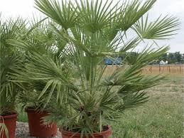 palmier nain chamaerops humilis entretien arrosage rempotage