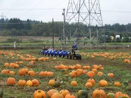 Sauvies Island Pumpkin Patch Corn Maze by Pumpkin Patches The Columbian